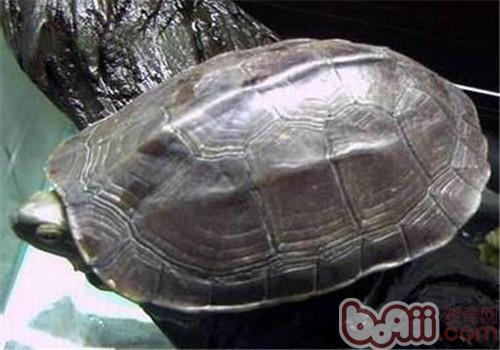 腊戌拟水龟的品种简介