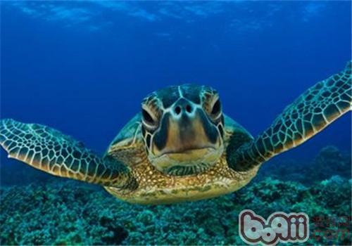 绿海龟的生活环境布置