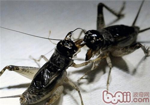 蟋蟀的形态特征