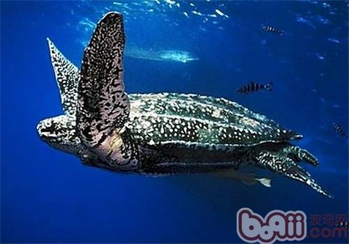 棱皮龟的品种简介