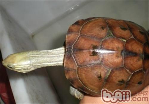 腊戌拟水龟的生活环境