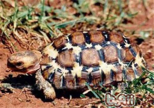 洛帕蒂折背陆龟的品种简介