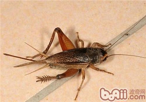 蟋蟀的喂食要点