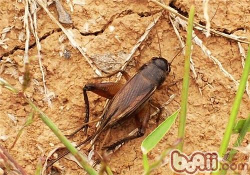 蟋蟀的品种简介