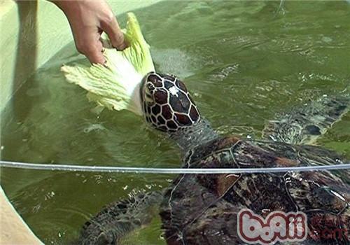 绿海龟的形态特征