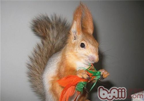 雪地松鼠的饲养知识