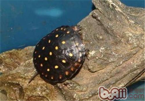 星点水龟的品种简介