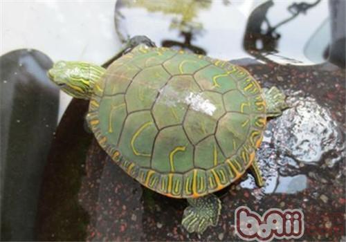 西部锦龟的外观特征