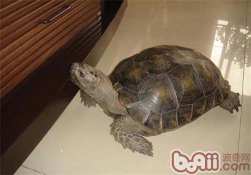 靴脚陆龟的护理知识