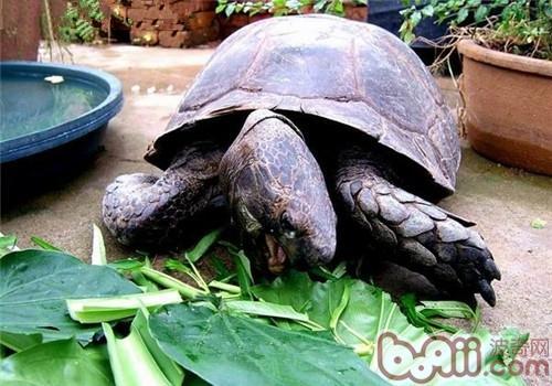 一般来说,靴脚陆龟不会选择任何动物类的食物,是绝对的素食者,靴脚