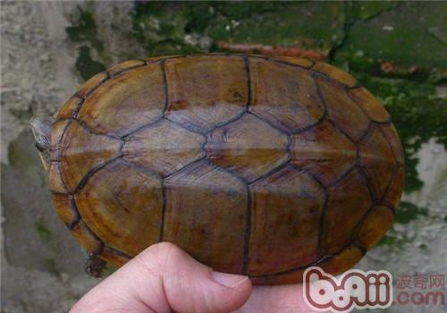 瓦哈卡泥龟的外观特征