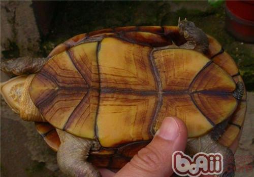 瓦哈卡泥龟的生活环境