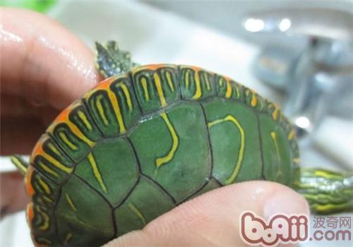 西部锦龟的生活环境