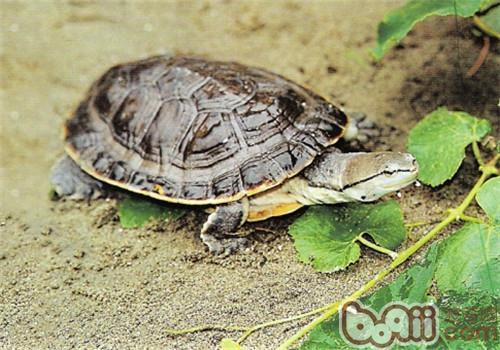 希氏蟾龟的品种简介