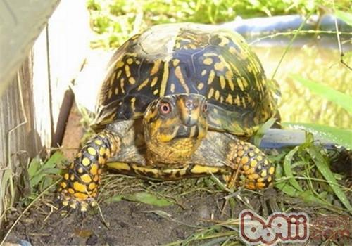 西部箱龟的生活环境