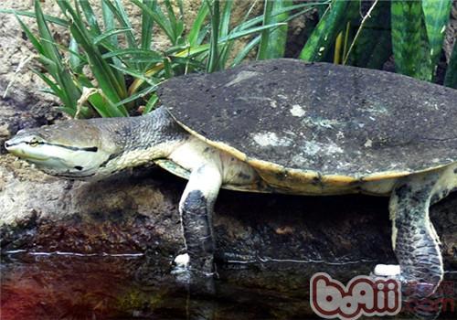 希氏蟾龟的生活环境
