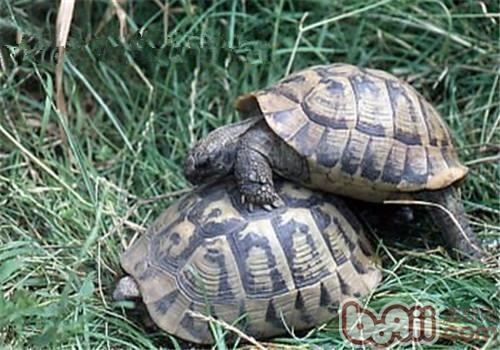 西部赫曼氏陆龟的形态特征