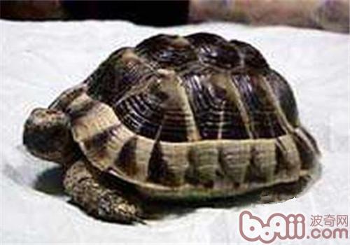 西部赫曼氏陆龟的饲养要点