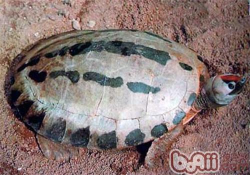 咸水泥彩龟的护理知识