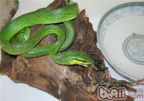 绿锦蛇的形态特征