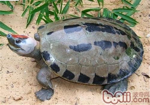 咸水泥彩龟的生活环境