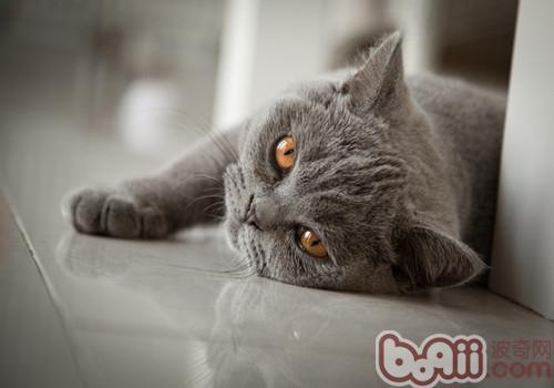 英国短毛猫繁殖的注意事项