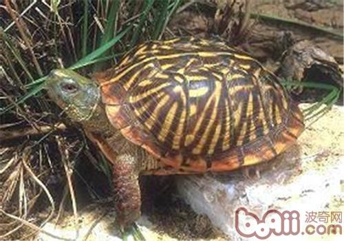 西部箱龟的外观特征