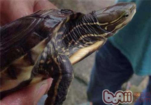 云南闭壳龟的护理知识