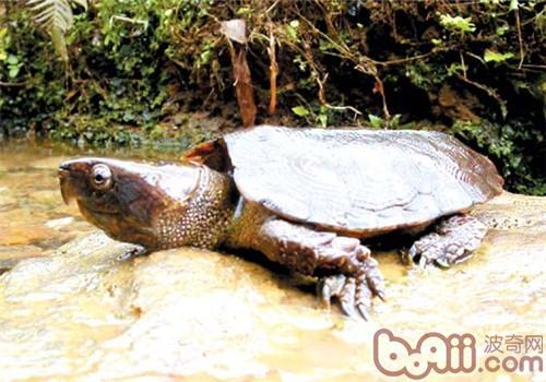 鹰嘴龟的外观特征
