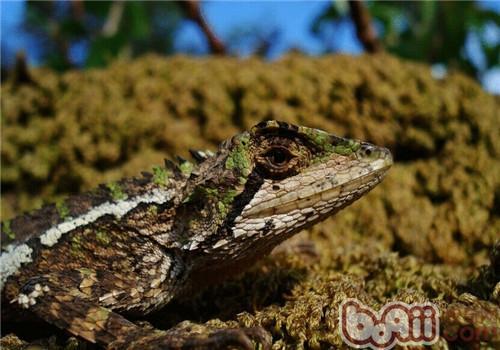 丽纹龙蜥的生活环境