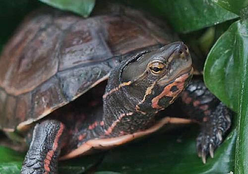 云南闭壳龟的品种简介