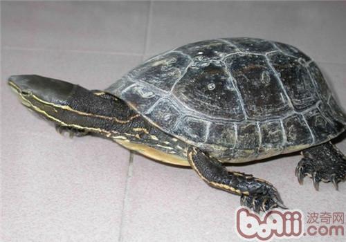 云南闭壳龟的外观特征