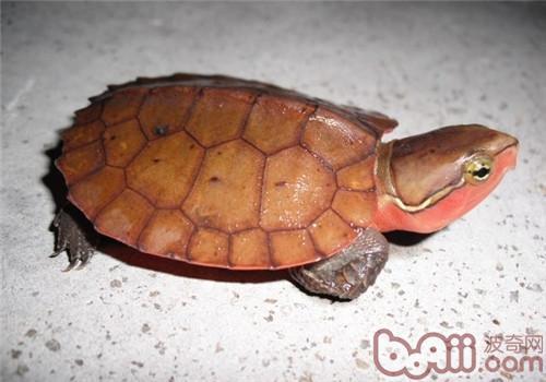 东锦龟能和草龟混养吗_多大的龟算幼龟_5cm的乌龟属于幼龟吗