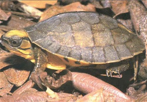云南闭壳龟的饲养要点
