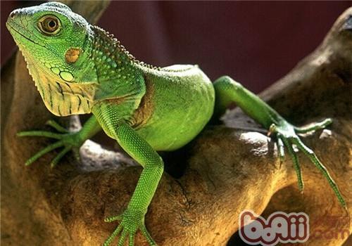 绿鬣蜥的形态特征