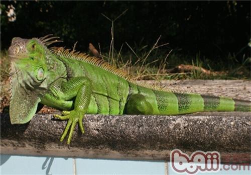 绿鬣蜥的生活环境