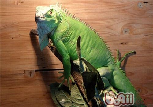 绿鬣蜥的喂食要点