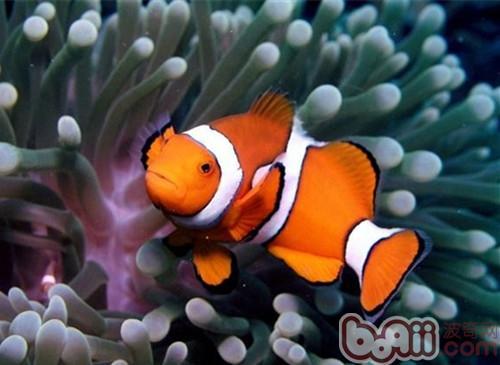 橡皮泥手工制作动物小丑鱼