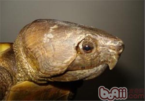 鹰嘴龟的生活环境