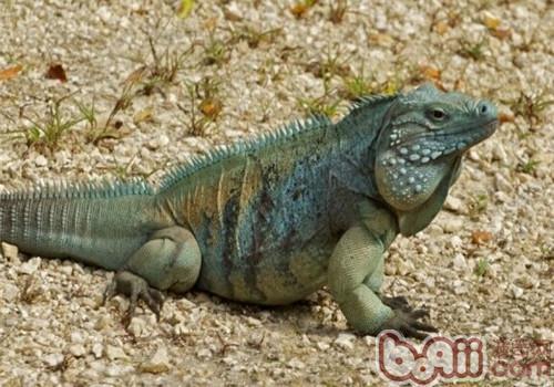 蓝岩鬣蜥的生活环境
