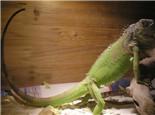 绿鬣蜥的品种简介