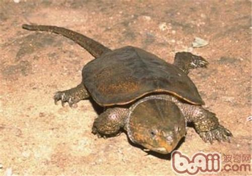 鹰嘴龟的护理知识
