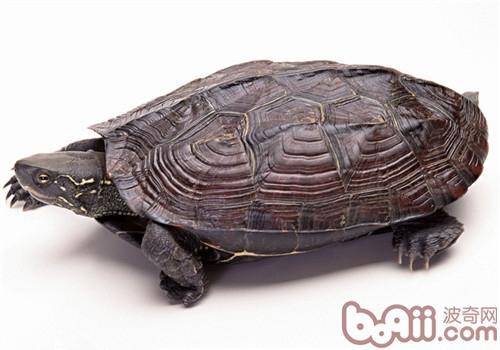 云南闭壳龟的饲养环境