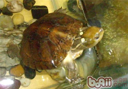 眼斑水龟的护理知识