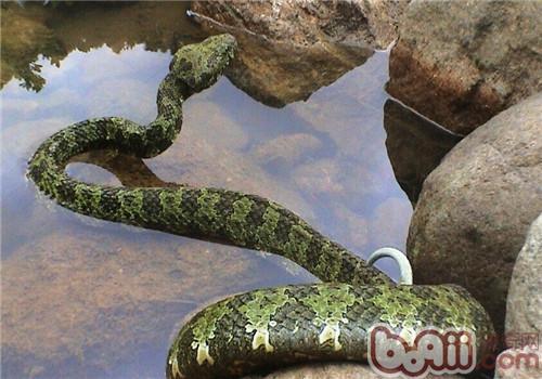 莽山烙铁头蛇的品种简介