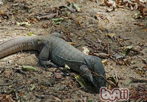 孟加拉巨蜥的饲养知识