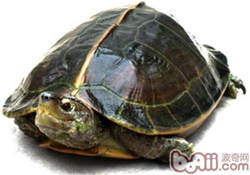 亚洲巨龟的品种简介