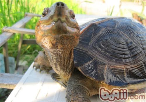 亚洲巨龟的饲养要点