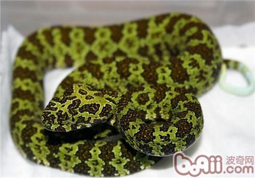 莽山烙铁头蛇的形态特征