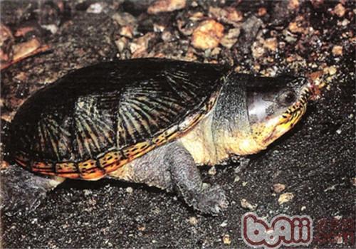 鹰嘴泥龟的外观特征